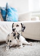 Pies w domu